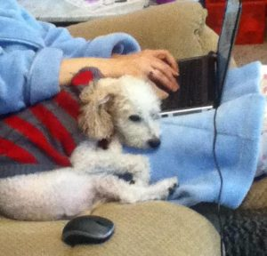 poodle mix, laptop